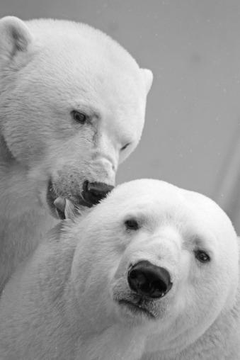 polar-bear-196317_1280