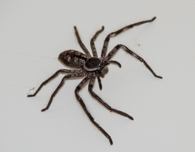 huntsman-spider-1234030_1280