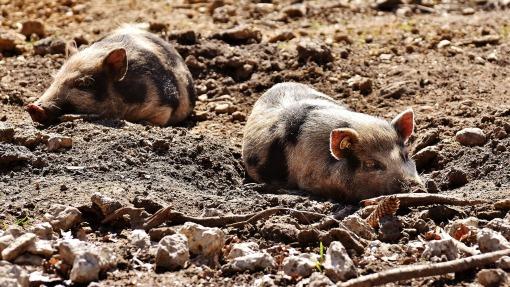 mini-pigs-2185058_1920
