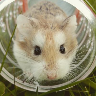 Cute hamster in tunnel.
